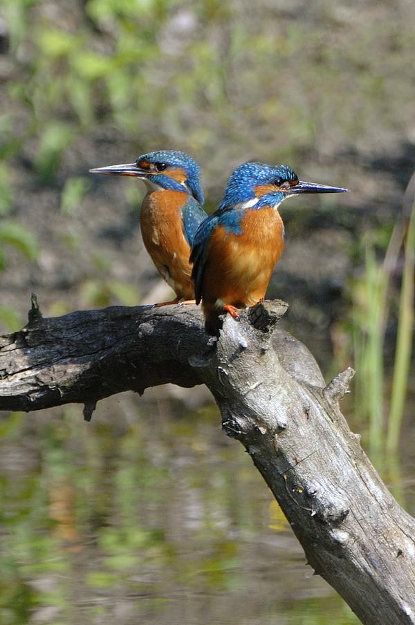Eisvogel Paar
