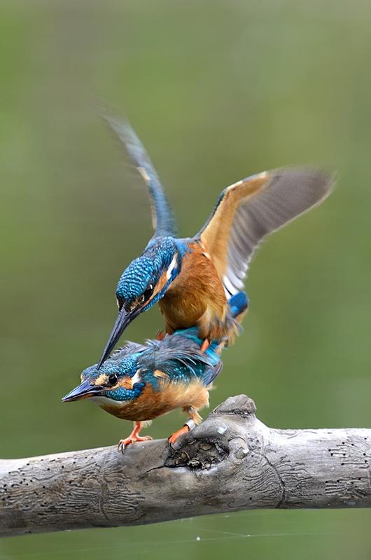 Eisvogelpaar